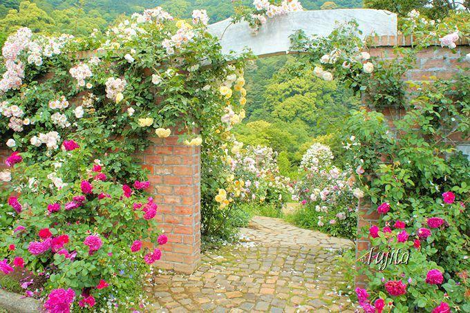 アカオハーブ&ローズガーデンのバラは「イングリッシュガーデン」から