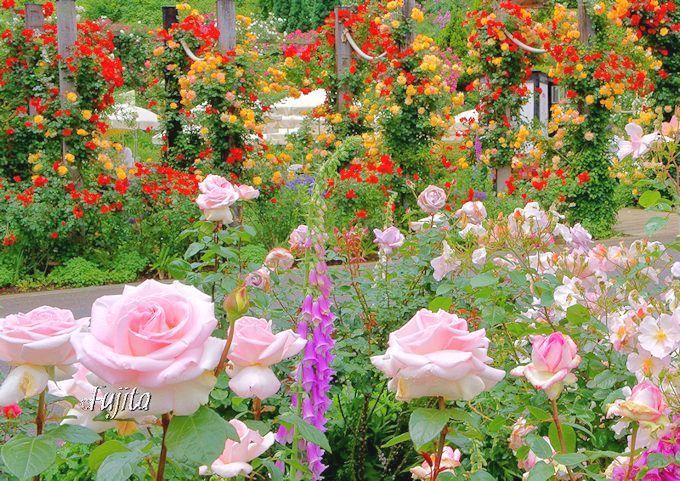 バラに染まる熱海観光「アカオハーブ&ローズガーデン」