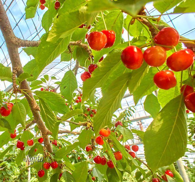 旬なさくらんぼが食べられる!山梨さくらんぼ狩りは30分食べ放題