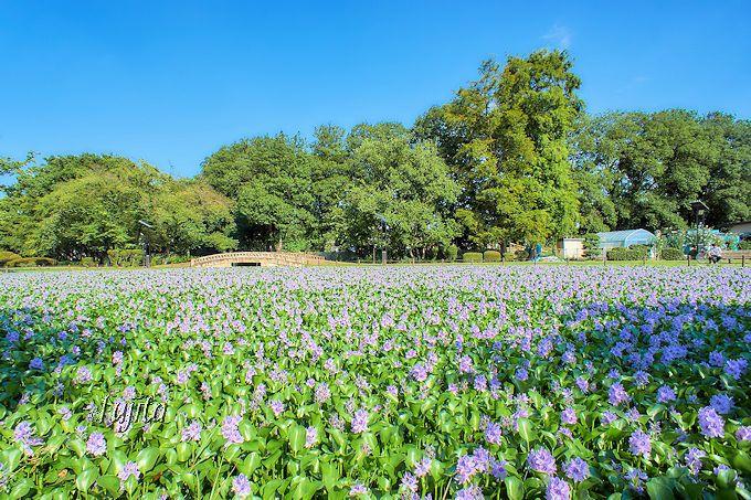 奇跡的な絶景!水城公園の満開のホテイアオイ