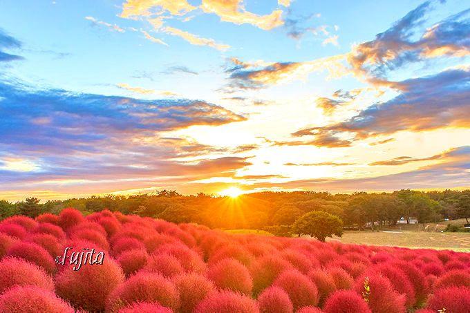 夕陽に光輝くコキアの紅葉の後は、夕焼けも絶景!