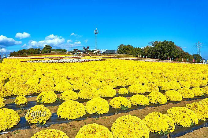 晴天の青空に菊の黄色が映える!あかぼり小菊の里