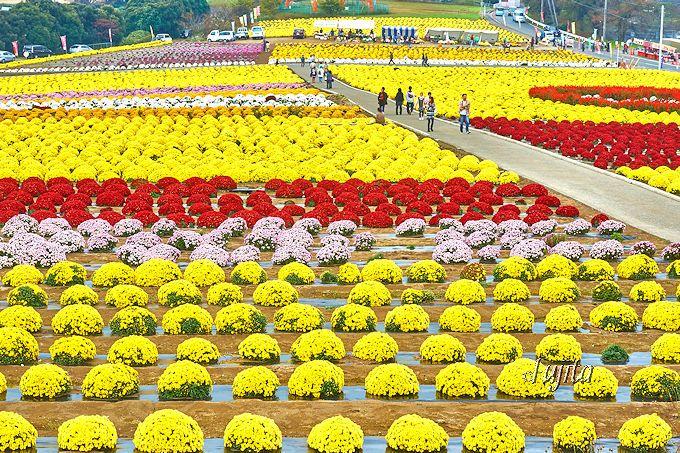 日本唯一で日本一!伊勢崎市「あかぼり小菊の里」は即売も楽しみ