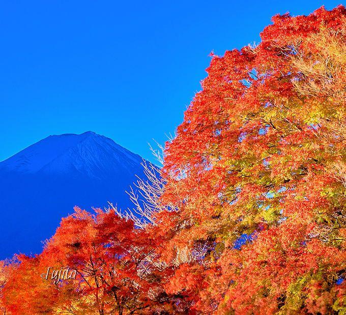 「もみじ回廊」と富士山がコラボ!紅葉ライトアップは開始直後が見所