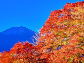 富士山と河口湖と紅葉がコラボ!「もみじトンネル」と「もみじ回廊」