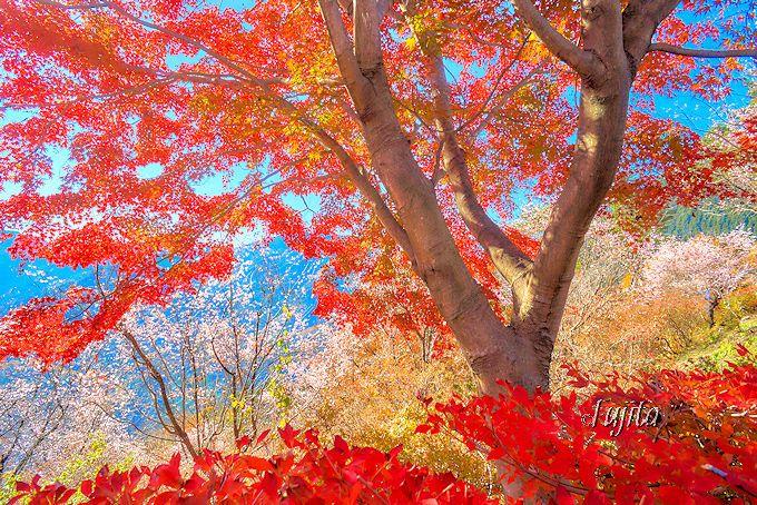 城峯公園の冬桜を、もみじとつつじの紅葉でサンドイッチに!