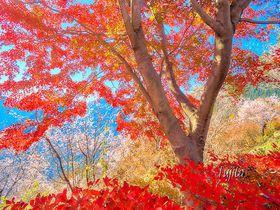 紅葉と桜が同時に見頃!埼玉「城峯公園」冬桜の花見と紅葉狩り