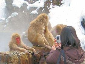 スノーモンキーに会える!長野・地獄谷温泉の雪猿と雪見露天風呂|長野県|トラベルjp<たびねす>