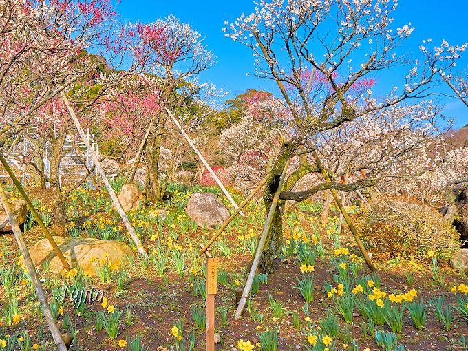 第3位「梅と水仙のコラボ」