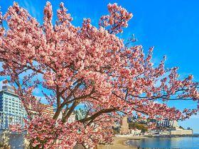 熱海温泉「糸川桜まつり」早春の花見と夜桜ライトアップ