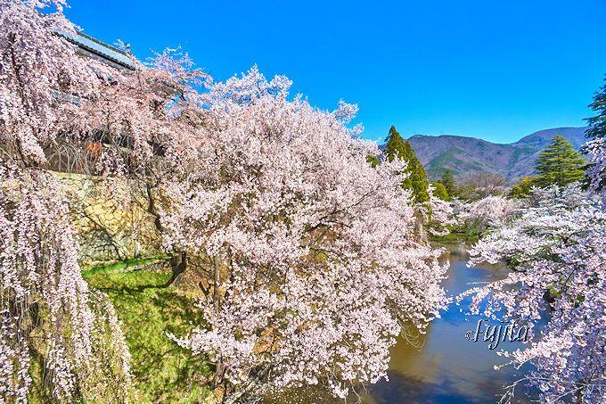 上田城「千本桜まつり」正門前のお堀の桜