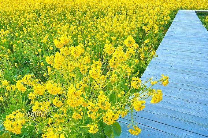 南伊豆町「みなみの桜と菜の花まつり」には広大な菜の花畑も!