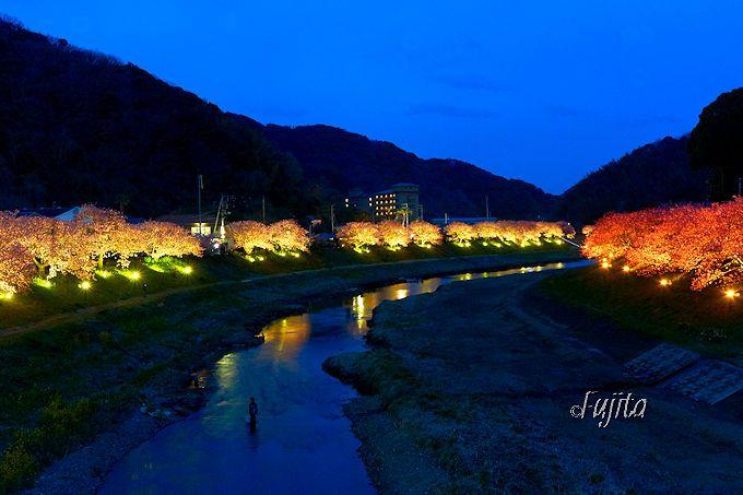 南伊豆町「みなみの桜と菜の花まつり」は夜桜「流れ星」も開催!
