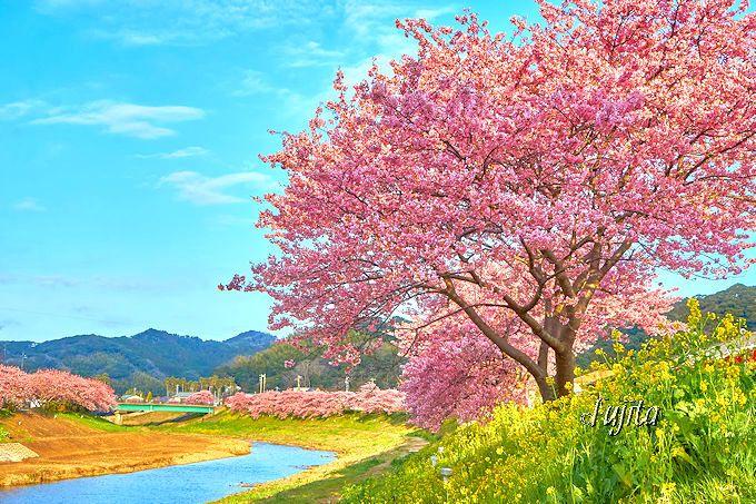 南伊豆町「みなみの桜と菜の花まつり」の河津桜は見応えが違う!