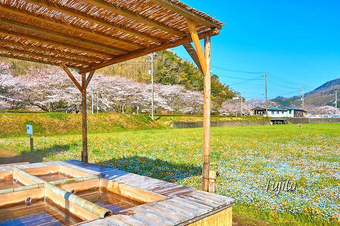 松崎町「那賀川堤の桜並木」では、足湯から桜と花畑を一望!