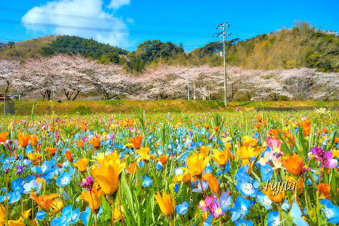 松崎町「那賀川堤の桜並木」と花畑の絶景コラボ!