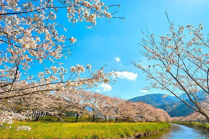 菜の花と桜、川と青空!西伊豆・松崎町「那賀川堤の桜並木」