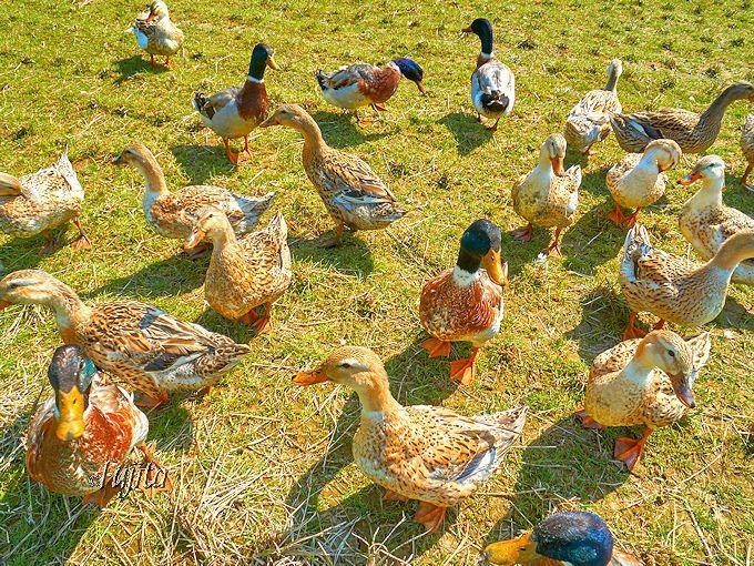 松崎町「那賀川堤の桜並木」は、花畑の奥で鴨にも会える!