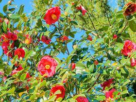 日本一1000品種の椿祭り!伊東市・小室山公園「つばき鑑賞会」|静岡県|トラベルjp<たびねす>