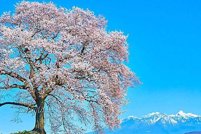 名刺代わりの絶景!わに塚の桜と八ヶ岳のコラボ