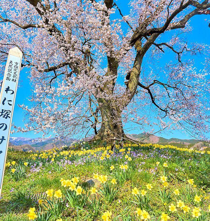 至近距離も必見!わに塚の桜と水仙のコラボ