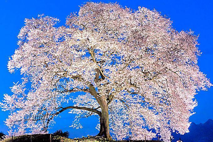 純白に光り輝き神々しい!わに塚の桜のライトアップ