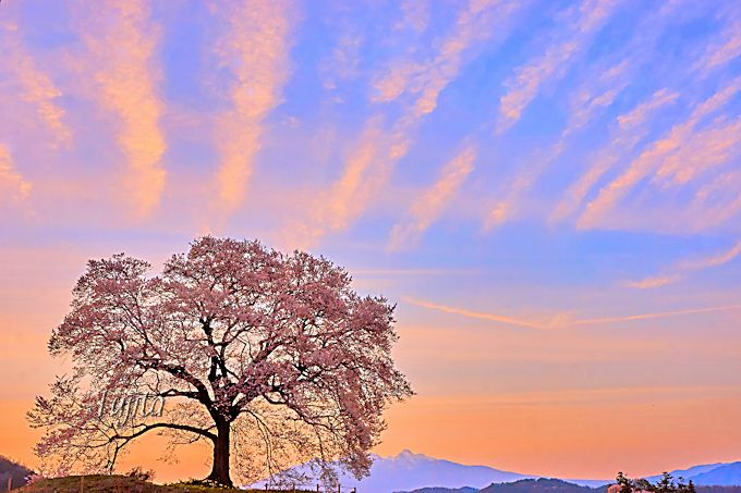 ライトアップ前に見たい!わに塚の桜と夕焼けのコラボ