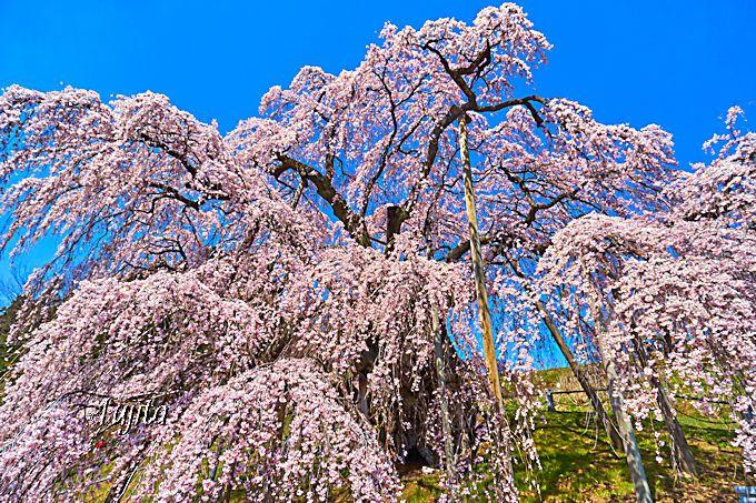 三春滝桜の写真撮影は「9時以降の午前中」がベスト!