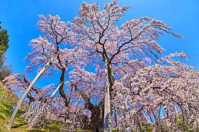 三春滝桜は、快晴の青空とのコラボが美しい!