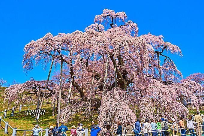 三春滝桜は、早朝から見物可能!