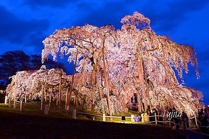一度は見たい混雑必至の福島・三春滝桜!大人気一本桜のお花見攻略法