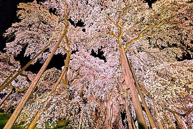 三春滝桜の夜桜ライトアップは、絶好のパワースポット!