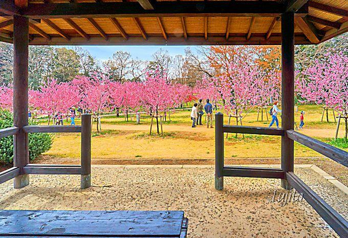 古河桃まつりの桃林では、花桃の品種の違いを楽しめます!