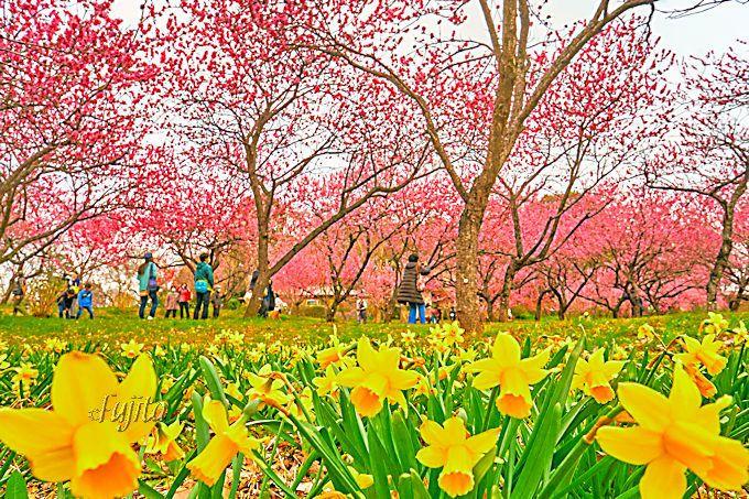 桃林と水仙のコラボは、まさに桃源郷!古河桃まつり