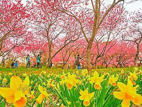 一面の桃林が美しい日本一の花桃の里!茨城県・古河桃まつり|茨城県|トラベルjp<たびねす>