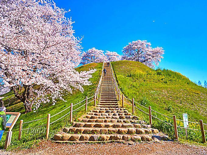 桜の花見をしながら、丸墓山古墳に登ろう!さきたま古墳公園