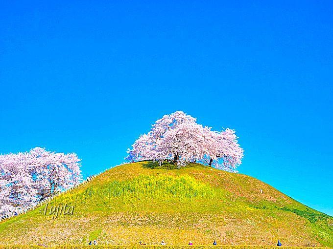 丸墓山古墳と桜のコラボは、まさに現代アート!さきたま古墳公園