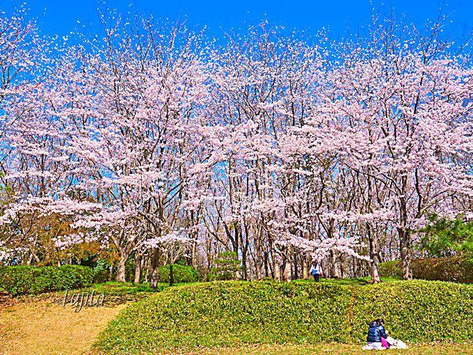 佐倉市を代表する桜のお花見名所!佐倉城址公園