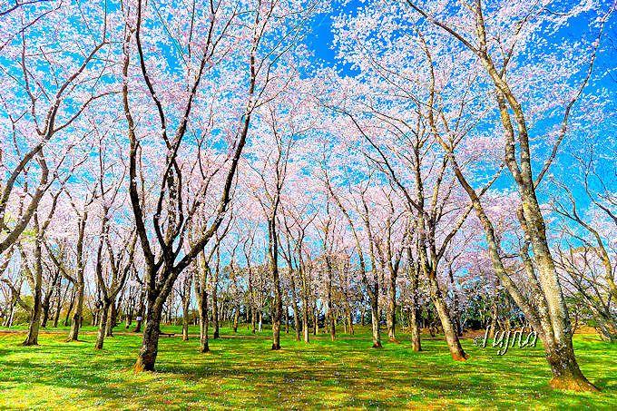 桜の林の絶景が素晴らしい!佐倉城址公園
