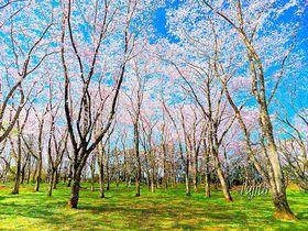 桜の林と夜桜屏風が絶景!千葉・佐倉城址公園は穴場のお花見名所|千葉県|トラベルjp<たびねす>