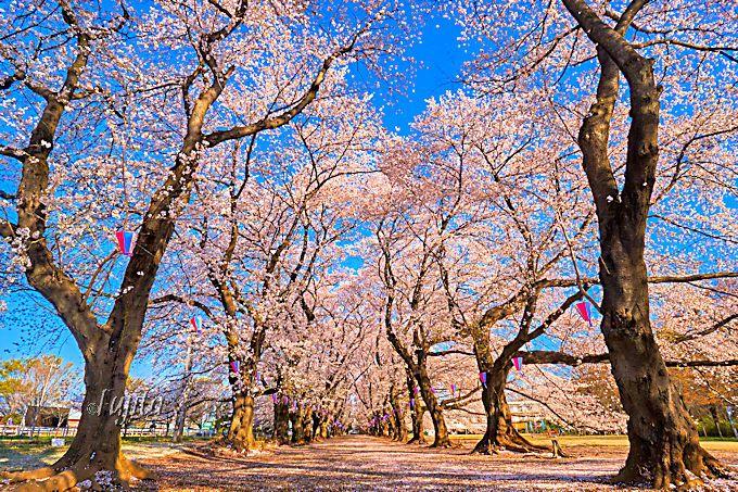 大木の桜並木が絶景!埼玉県伊奈町・無線山桜祭り3つの魅力