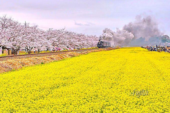 満開の桜と菜の花畑に、SLがやって来て大興奮!