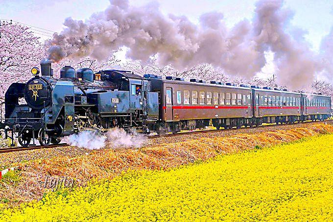 これぞ真岡鐵道の桜と菜の花とSLの絶景コラボ!