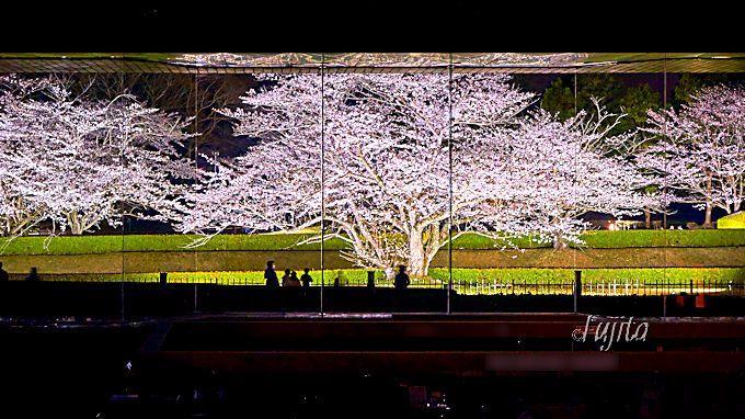 まさに夜桜屏風!国立歴史民俗博物館の特別開館は必見