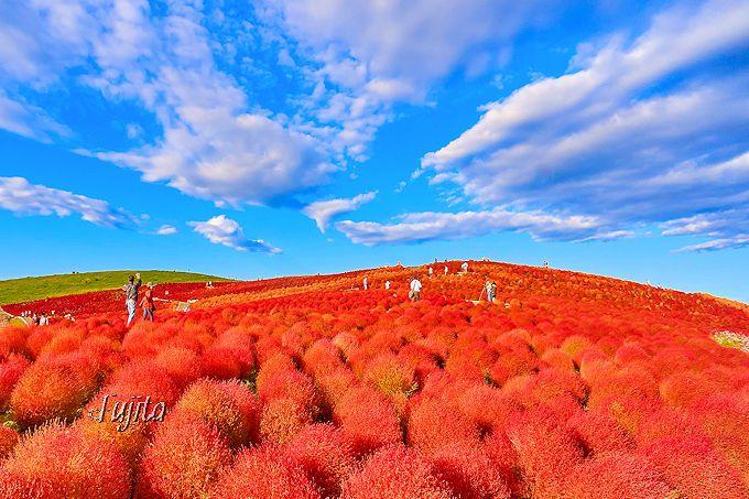 ネモフィラの後は、コキアの紅葉も必見!ひたち海浜公園