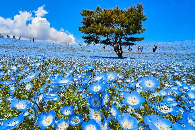 今や茨城観光の代表スポット!青い絨毯の絶景「ひたち海浜公園」