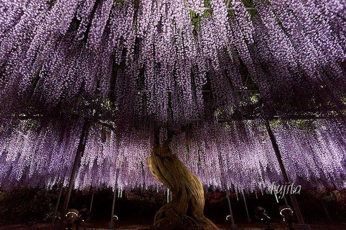 日本屈指の藤の名所「あしかがフラワーパーク」(栃木)