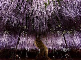 GWはアバターの「エイワの木」へ!あしかがフラワーパークの大藤ライトアップ|栃木県|トラベルjp<たびねす>