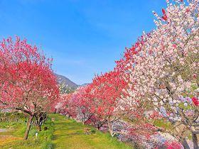 GWは日本一の花桃と星空へ!南信州・月川温泉「野熊の庄 月川」は花桃の里|長野県|トラベルjp<たびねす>