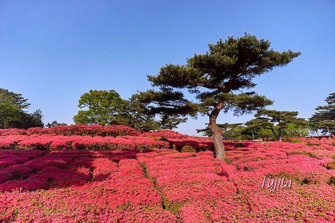 まさに赤い絨毯のよう!小室山公園つつじ祭り
